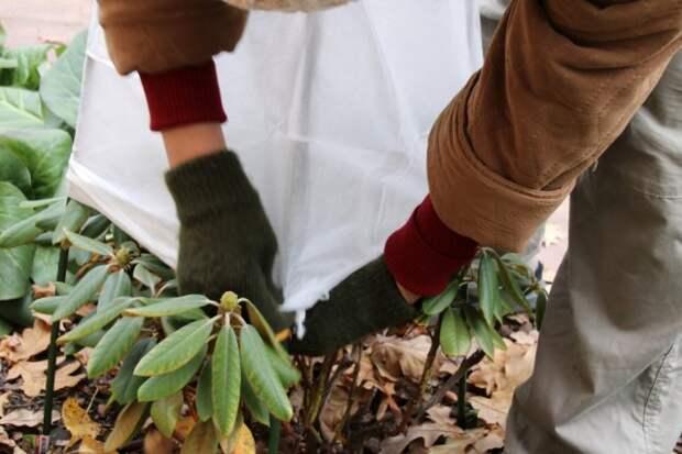 Как подготовить рододендроны к зиме