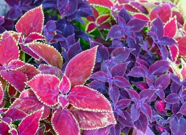 садовые растения с красивыми листьями