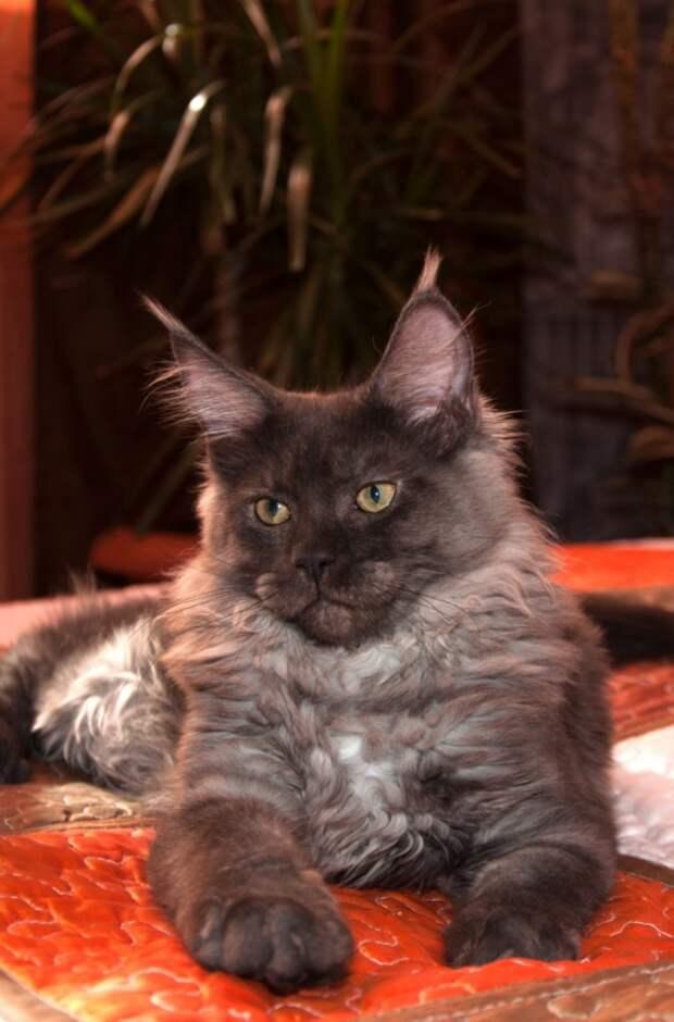 Котята мейн-куна во всей своей красе. Редкие красавчики и милахи!