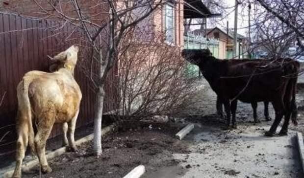 Три брошенные коровы несколько дней ходят поулицам вБатайске