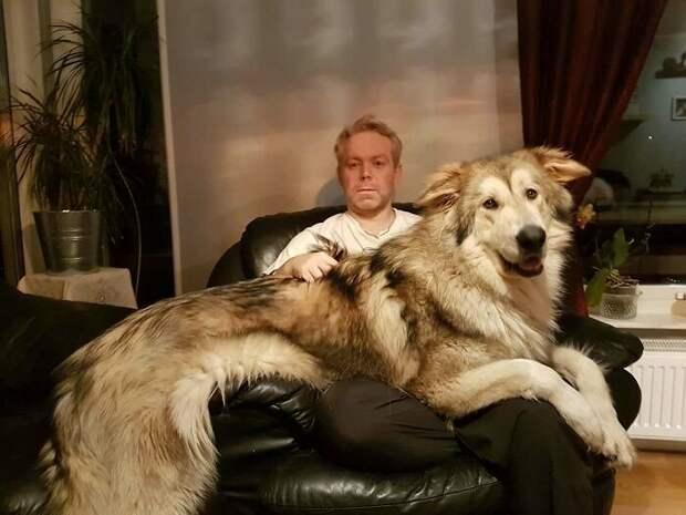 21 песик и собачка, которые понятия не имеют, насколько они здоровенные выросли