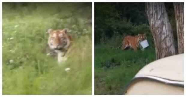 Чем закончилась встреча тигра и рыбаков в Приморском крае (1 фото + 1 видео)