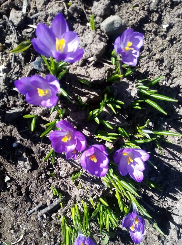 Первые цветы на клумбах- появляются сразу после схода снега. Рассказываю о каждом
