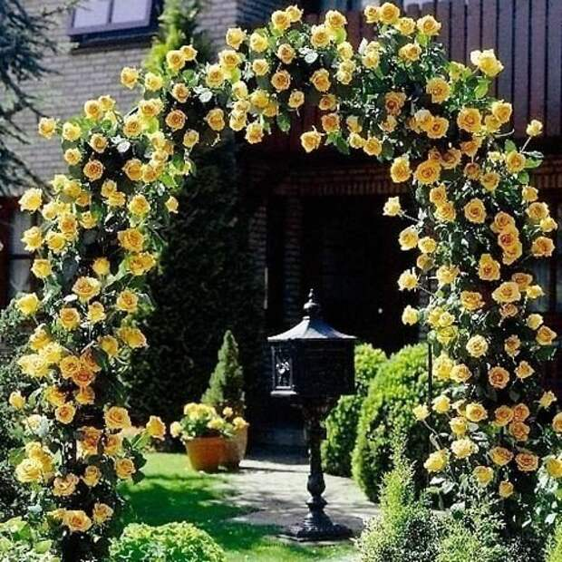 Желтая роза.