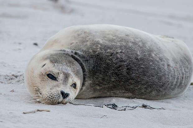 Сотрудники МЧС в Ленобласти спасли первого в этом сезоне тюленя