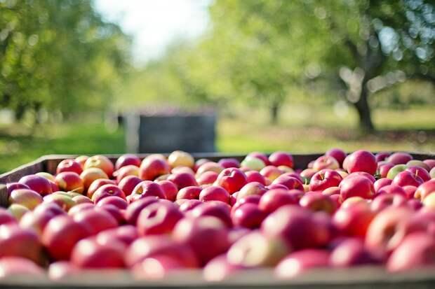 Пьяный житель Красногвардейского района украл 75 килограммов яблок