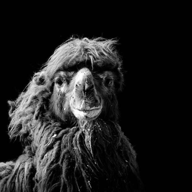 Невообразимая красота диких животных в черно-белой фотографии Лукаса Холаса
