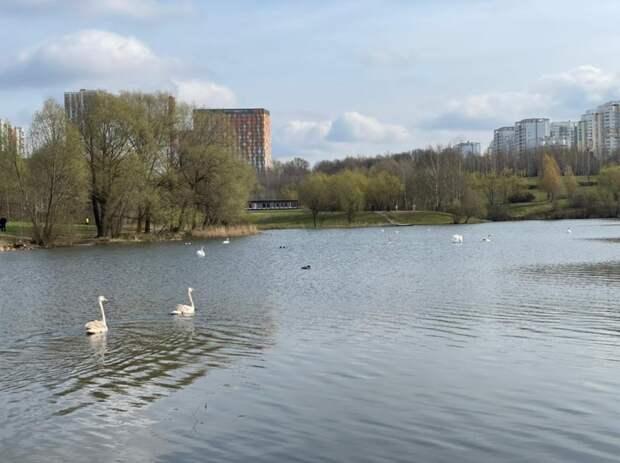 В Пенягинский пруд выпустили еще пять белых лебедей