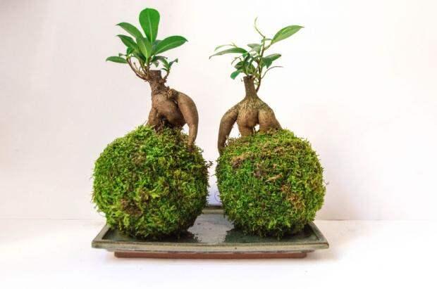 Как сделать кокедаму своими руками: уникальное растение для дома без горшка