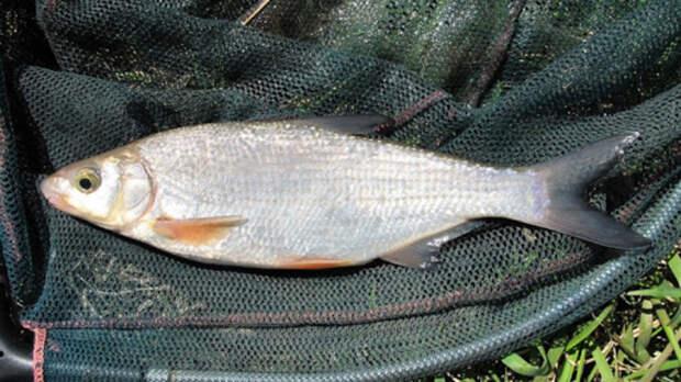 Вылов рыбца запретили вРостовской области досредины июня