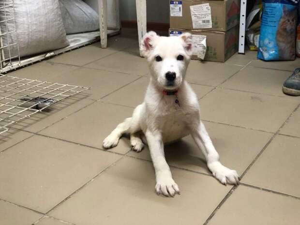 Маленькие щенки алабая даже не могли ходить из-за ошибок заводчиков алабай, белая собака, порода, собака, щенки, щенок