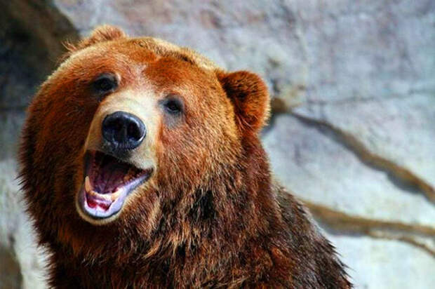"""Как медведь, спасенный лесником, """"перевоспитал"""" воришку"""