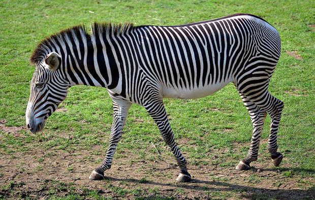 Ученые усомнились в эффективности черно-белого камуфляжа зебр