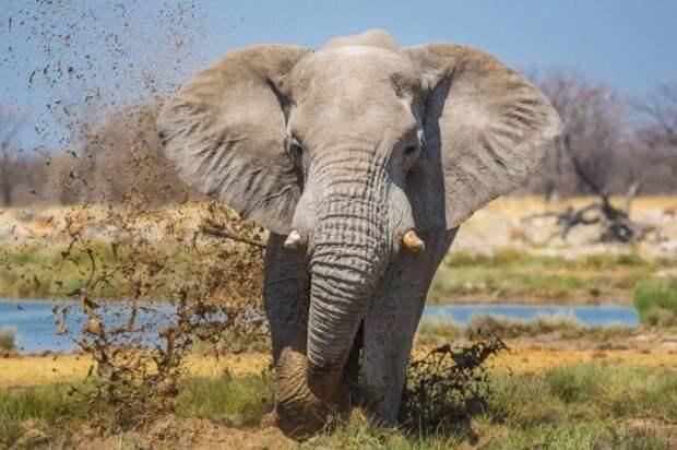 Разрушительная сила слонов может быть огромной.