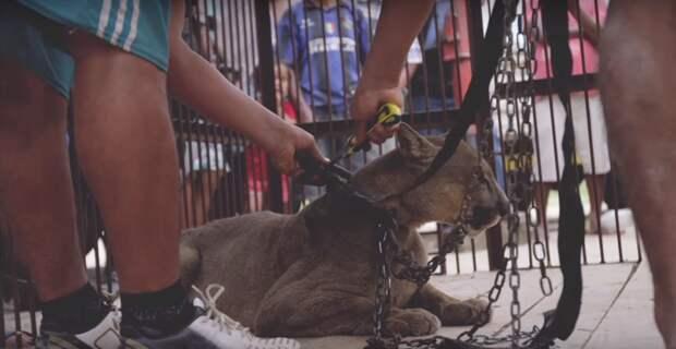 20 лет на цепи: душераздирающая история спасения цирковой пумы видео, дикая природа, животные, лев, освобождение, природа, фото, хищник