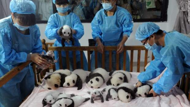 Потрясающие фото детенышей панды, которые моментально поднимут вам настроение