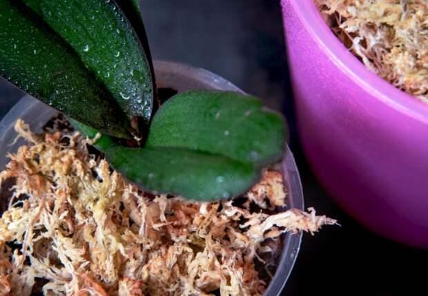 Как вырастить орхидею в сфагнуме