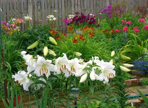 Весенний уход за лилиями