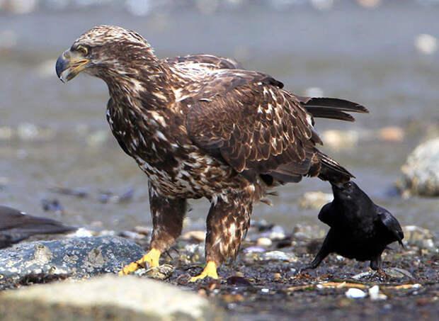 Только смелые они..или глупые? вороны, животные, птицы, фото