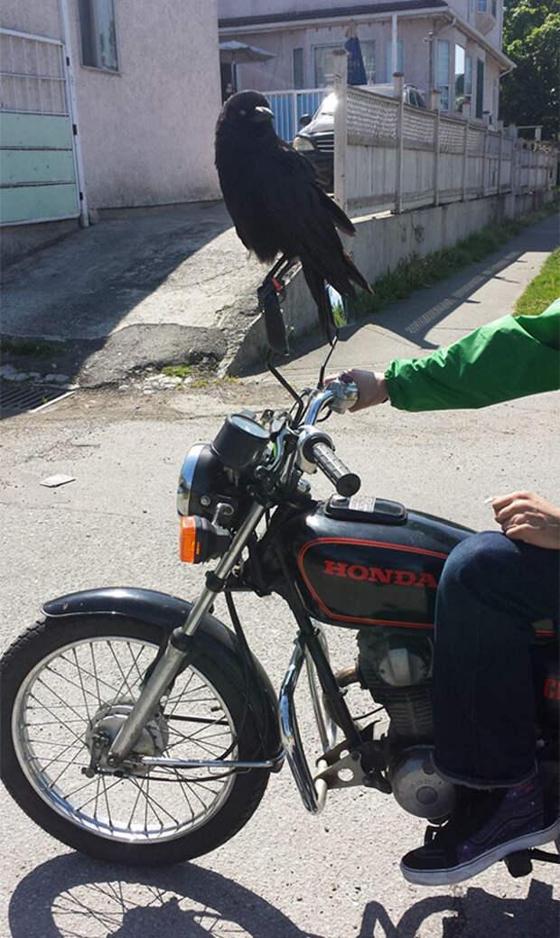 Крутость зашкаливает вороны, животные, птицы, фото