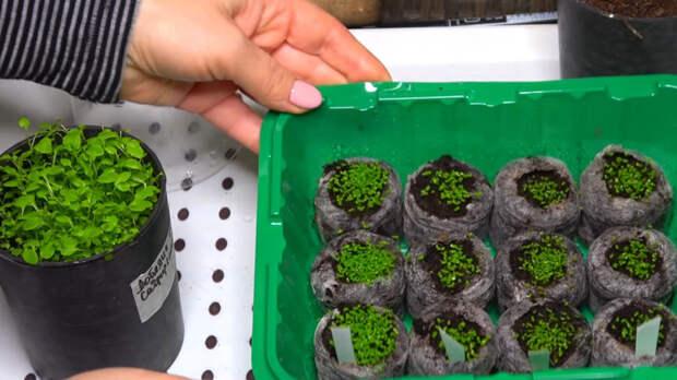 Самый простой букетный способ посева красавицы лобелии