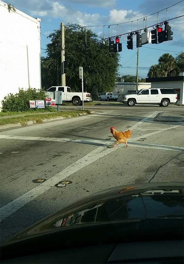 Куда прешь, курица?! дорога, дорожные истории в картинках, забавно, качу куда хочу, необычно, смешно, смешные случаи, шоссе
