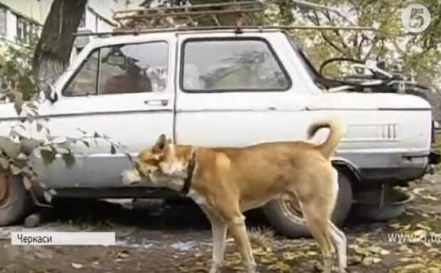 Бездомный пёс поселился в стареньком «Запорожце» и стал настоящим автолюбителем