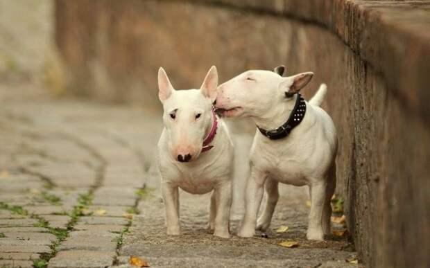 25 милейших фотографий бультерьеров — самых прекрасных созданий на свете бультерьеры, животные, милота, собаки