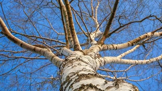 Подросток попал в реанимацию после падения с дерева в Выборге