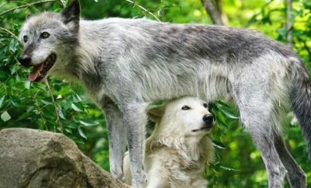 Волк перед камерой в лесу подал голос и на его зов откликнулось 50 волков: видео