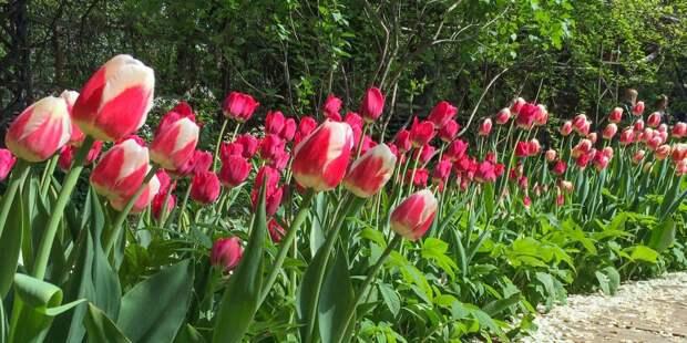Почти 90 тысяч луковиц тюльпанов высадят в Ростокине
