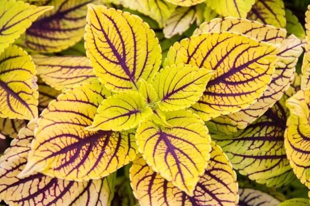 Multicolor decorative plant - coleus; ( Solenostemon scutellarioides )