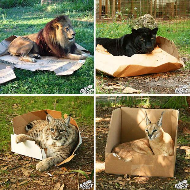 Большие кошки тоже не отстают! животные, забавно, котопост, коты, кошки, неожиданно, питомцы, юмор