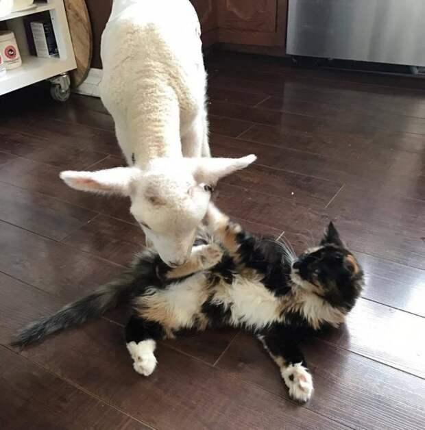 ягненок и кот играются