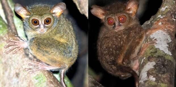 Ученые обнаружили два новых вида долгопятов в Индонезии
