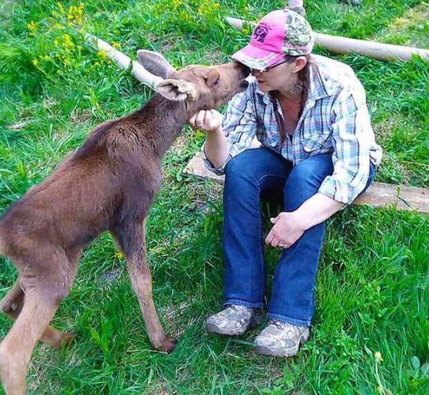 Овчарка подружилась с маленьким лосёнком, потерявшим маму