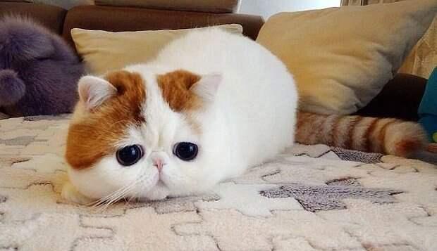 Кот Снупи животные, интересно, коты, кошки, питомцы, подборка, топ