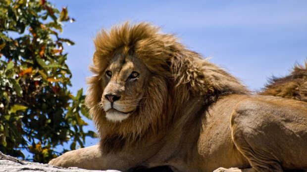 Львы растерзали браконьеров, решивших поохотиться за носорогами