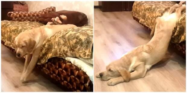 Флафи - самая ленивая жидкая собака видео, интересное, собака, фото