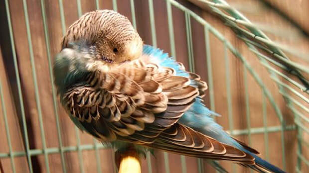 Простуженный попугай ведёт себя вяло, апатично, прячет голову под крыло