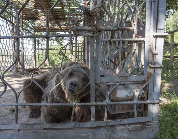У медведей практически не было никаких развлечений, кроме наблюдения за туристами.