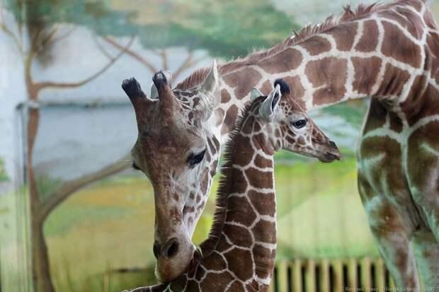 В Калининградском зоопарке родился жирафенок Калининградский зоопарк, жираф, жирафенок, калининград, фоторепотаж