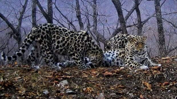 Кормящий леопард Дальний Восток, Земля леопарда, животные, леопард, фотоловушка, хищники