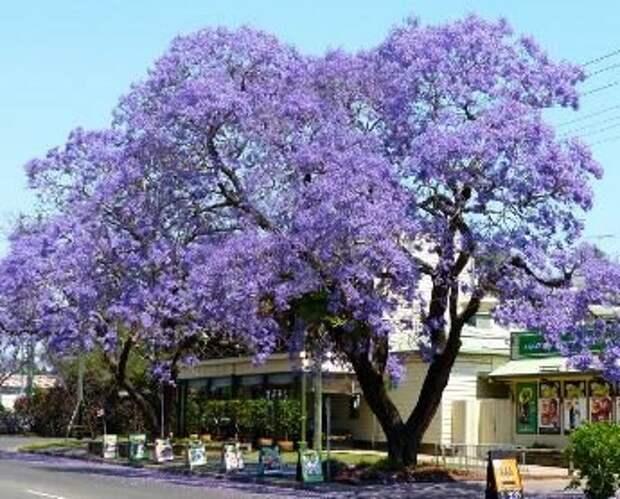 Фиалковое дерево где купить и почему любят цветоводы