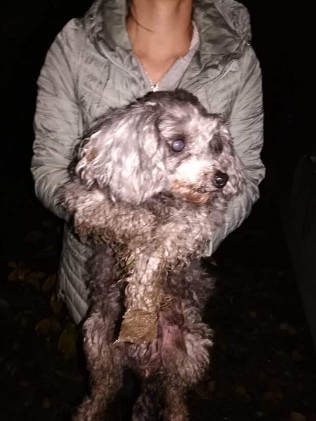 Грибники нашли в лесу под Екатеринбургом пуделя с опухолью