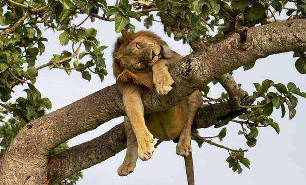 Лев залез на дерево, а потом устал и заснул