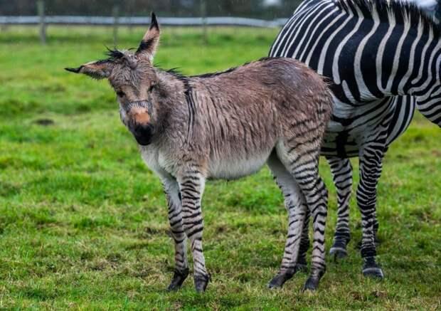 На британской ферме родился уникальный зонки - детеныш зебры и осла