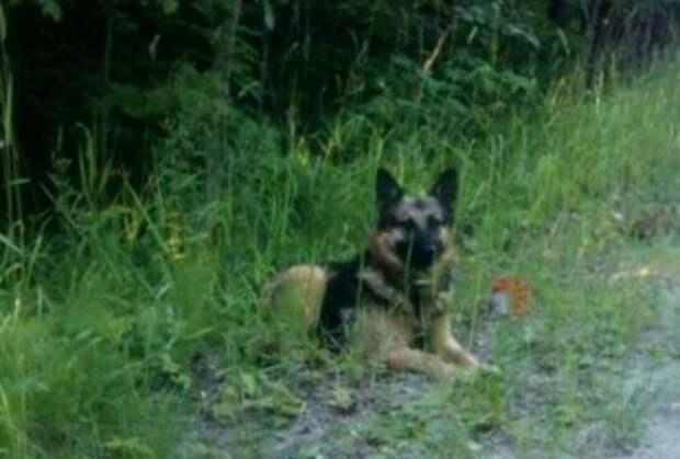 Карельский Хатико. Собака четвёртую неделю ждёт своего хозяина на трассе