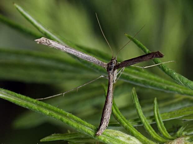 В сложенном состоянии крылья большинства пальцекрылок выглядят вот так. И как прикажете отличить её от обычной ветки?
