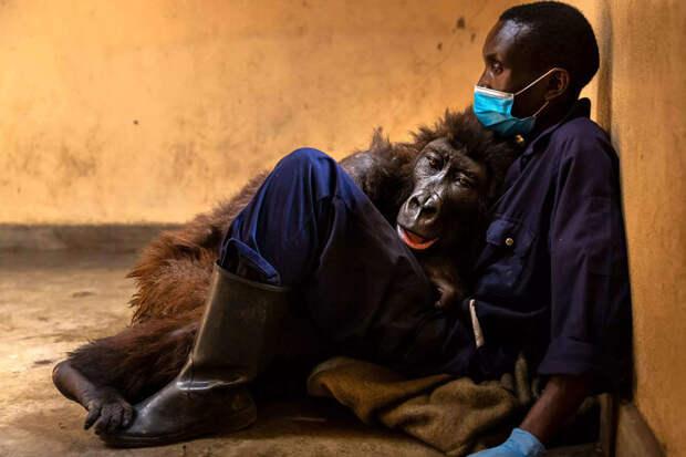 Умирающая горилла трогательно простилась смужчиной, который спас ее вдетстве